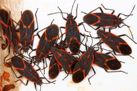 Boxelder Bugs Midwest United States
